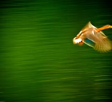 Duck motion by Andre Faubert