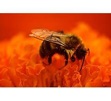 Sleeping Bee Photographic Print