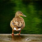 Just ducking around by Andre Faubert