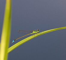 Damselfly Basking by Glenn Cecero