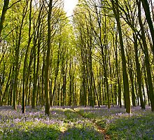 Through the Blue-bells and Beech Woods by Alex Cassels