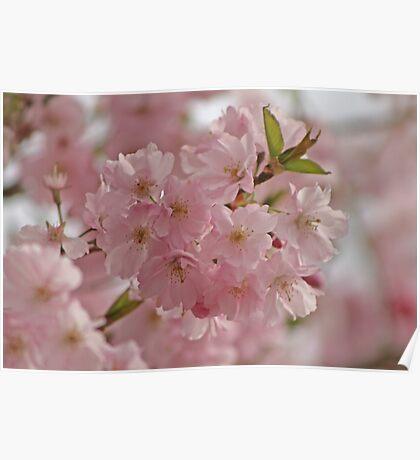 Springtime Blossoms Poster