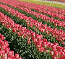 Tulip Field by Debbie Stika