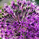 Allium aflatunense so intense by patjila