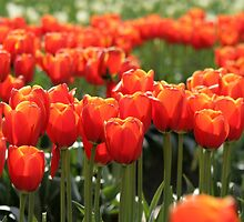 Orange Tulips by Debbie Stika