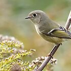 Ruby-crowned Kinglet by Alinka