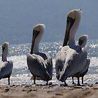 Group of migrant pelicans at the beach of Puerto Vallarta - Grupo de pelicanos migrantes en la Bahia de Puerto Vallarta by Bernhard Matejka