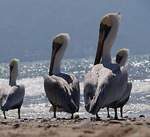 Group of migrant pelicans at the beach of Puerto Vallarta - Grupo de pelicanos migrantes en la Bahia de Puerto Vallarta by Bernhard Matejka