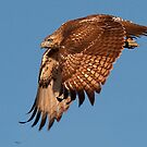 100811 Red Tailed Hawk by Marvin Collins