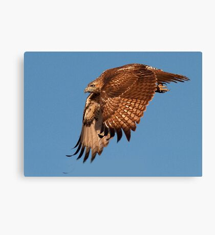 100811 Red Tailed Hawk Canvas Print