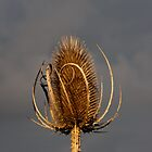 Teasel by LorrieBee