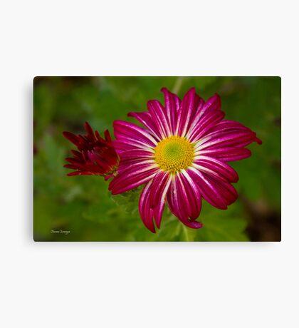 Purple Aster Flower Close up Canvas Print