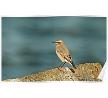 Migrating Wheatear Poster