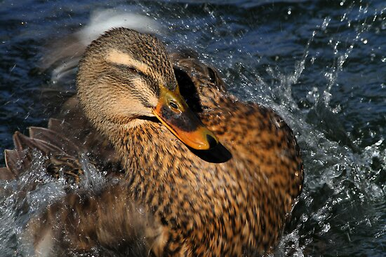 Splish Splash by Karol Livote