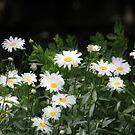 Mini Daisies by Kathy Nairn