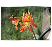 Cluster of Lillies Poster