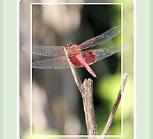 Dragonfly in Pink by Rosalie Scanlon