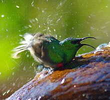 sunbird taking a bath.... by Martina  Stoecker