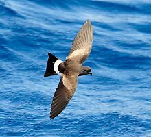 Wilson's Storm Petrel taken The Shoals off Port Stephens by Alwyn Simple