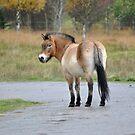 PRZEWALSKI'S HORSE. by Dorothy Thomson