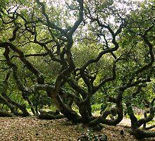 #1009  California Live Oak Tree by MyInnereyeMike