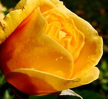 Fall Roses III by Tricia Stucenski