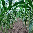 Into the Corn by Sheri Nye