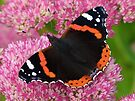 Red Admiral Butterfly on Sedum by Artberry