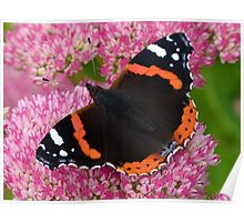 Red Admiral Butterfly on Sedum Poster