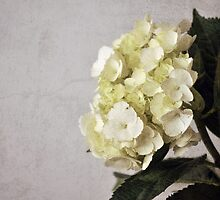 Baby Hydrangeas by Sarah Thompson-Akers