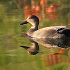 Gadwall in fall colours by Alinka