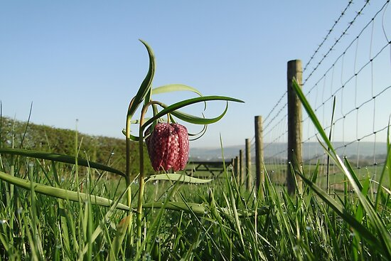 Snake's head Fritillary by Barrie Woodward