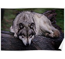 A wolf on a wet log Poster