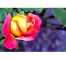 Richly hued rose Photographic Print