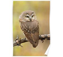 Northern Saw-whet Owl's look-back pose. Poster