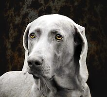 The Soulful Eyes of the Weimaraner by Marcia Rubin