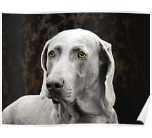 The Soulful Eyes of the Weimaraner Poster