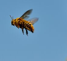 Carpenter Bee by DeoVolente (Dewahl Visser)