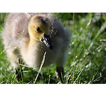 Canadian Chick Photographic Print