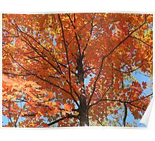 Magnificent Maple Poster