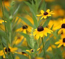 Field of Yellow Daiseys by Kim Wadeson