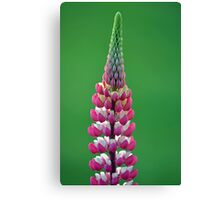 Pink Lupine Canvas Print