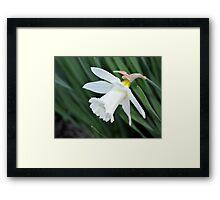 Single White Daffodil Framed Print