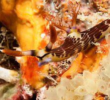 Nembrotha lineolata at Mabul, Sabah, Malaysia by Erik Schlogl