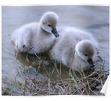 Baby Cygnets Poster