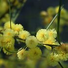 Wattle by Anny Arden