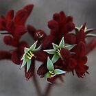 Kangaroo paw by Anny Arden
