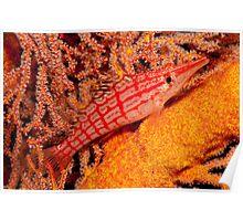 Longnose Hawkfish, Papua New Guinea Poster