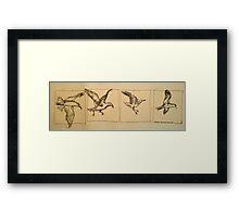 Four flying Seagulls: pen sketch. Framed Print