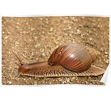 Giant land snail, Achatina achatina, South Africa - Lowveld Poster